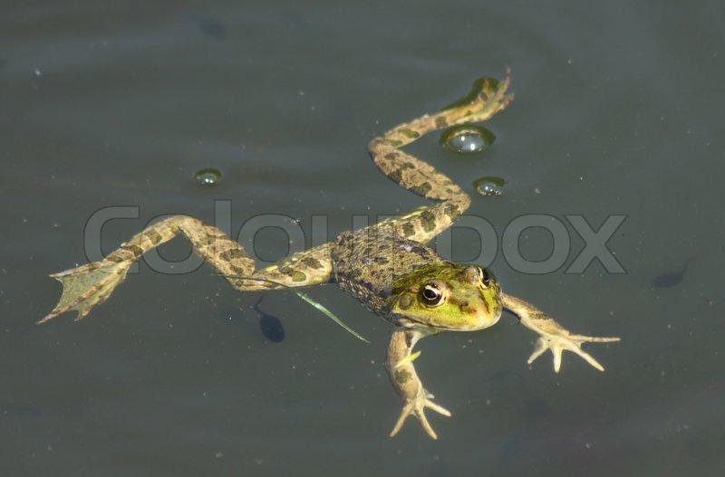 Große grüne Frosch (American Bullfrog ) auf dem Wasser schwimmen ...