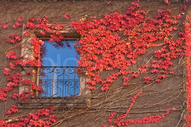 Die Mauer Der Stadt Haus Von Zweigen Eines Efeu Mit Roten