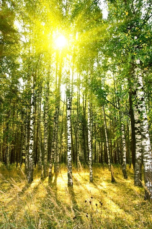 Birch trees in a summer or autumn forest