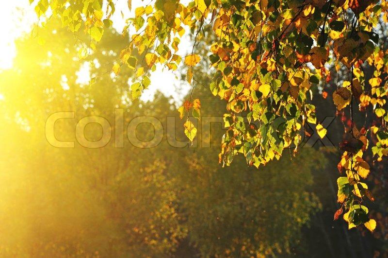 Stock foto af birketræer i en sommer skov og solskin