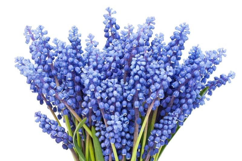 Bouquet from first springs flowers muscari isolated macro stock bouquet from first springs flowers muscari isolated macro stock photo mightylinksfo