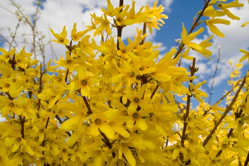 Bush forsythia maluch yellow flowers in the early spring these bush forsythia maluch yellow flowers in the early spring these flowers decorate a garden stock photo colourbox mightylinksfo