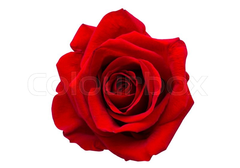Red Rose Isolated On White Background Stock Photo Colourbox