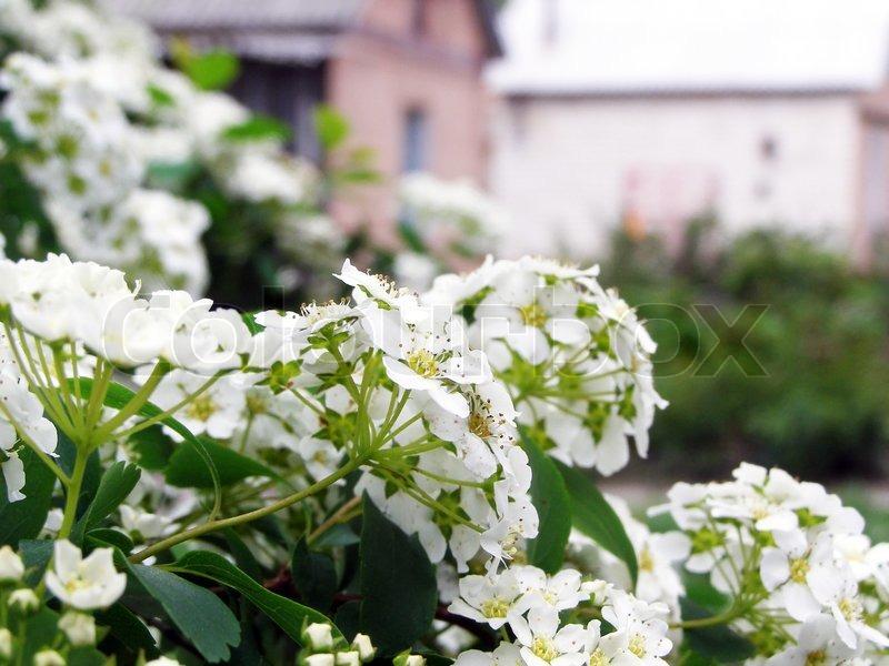 Weiße Blüten am Strauch | Stockfoto | Colourbox
