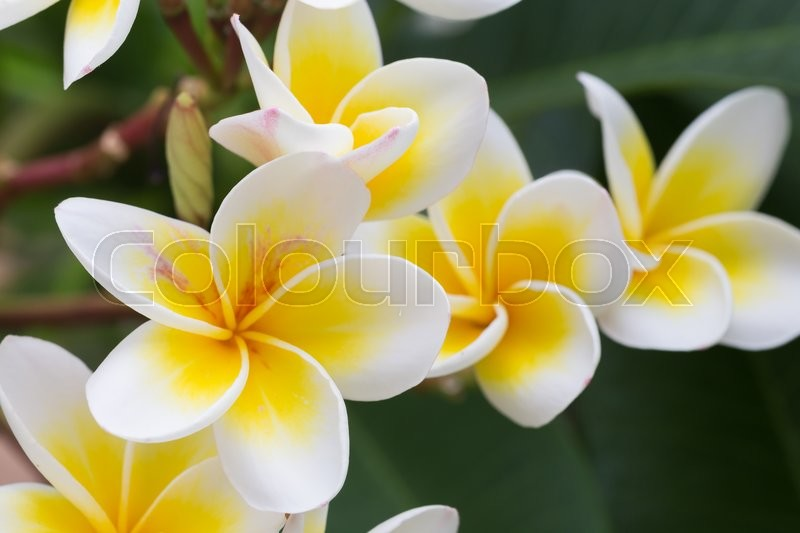 White frangipani tropical flower, plumeria flower blooming on tree, spa flower, stock photo