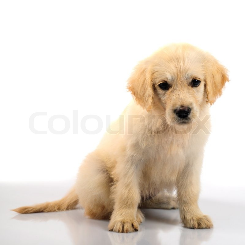 Golden Retriever Welpen Isoliert Auf Stockfoto Colourbox