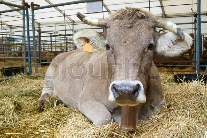 Close-up of a cow in a cattle fair, stock photo