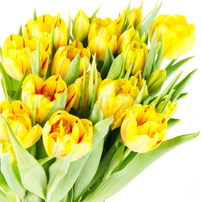 Stock image of 'Fresh yellow tulip flowers'