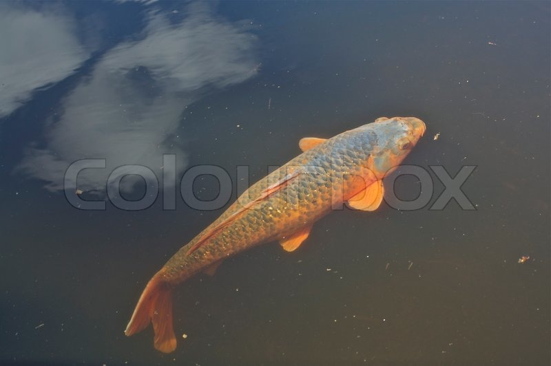 Koi carp and cloud stock photo colourbox for Koi fish living conditions