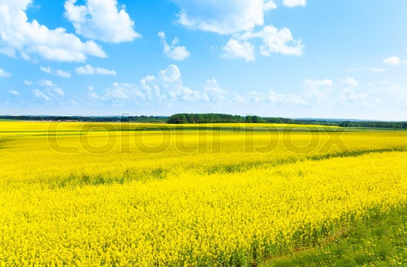 Yellow color flowers fields growing in Eastern Europe on spring sunny day with few clouds, stock photo