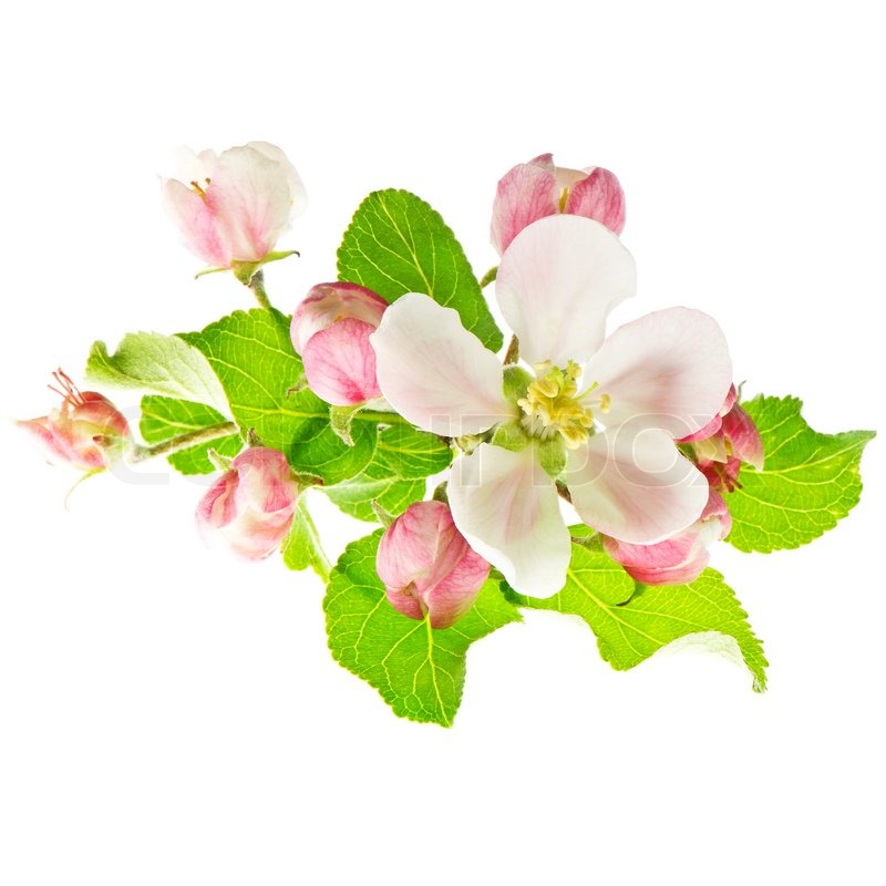 Spring Flowers. Apple Blossoms On White Background