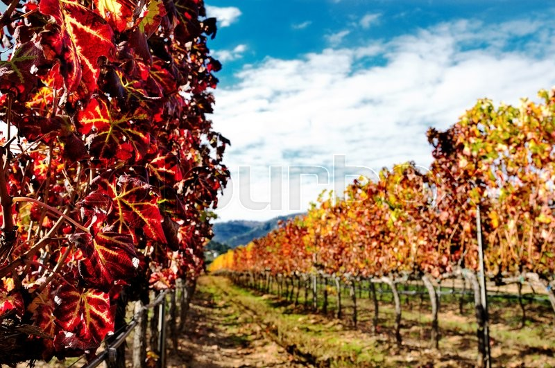 Details of vineyards, rows of vines young and old with the colors of autumn, stock photo