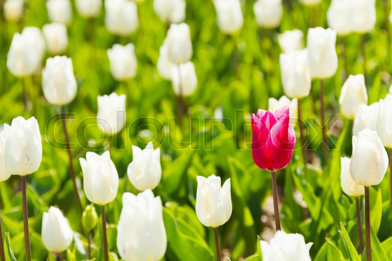 Close-up view of white and one red tulip during day time in summer, Netherlands, stock photo