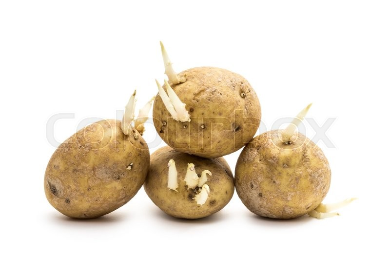 kartofler med spirer