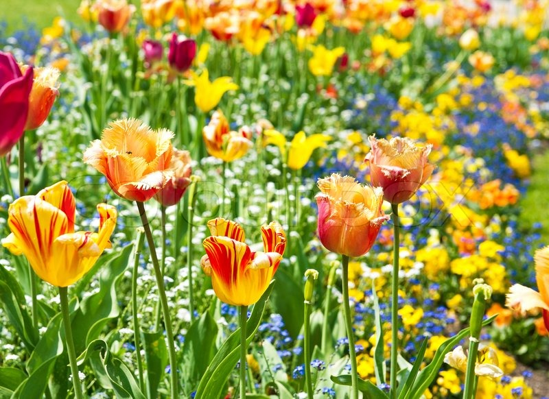 Colorful spring tulip flowers sunny day stock photo colourbox mightylinksfo