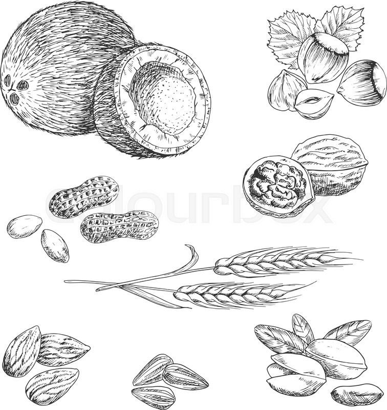 Sketched nuts, beans, seeds and wheat in retro engraving style with ...