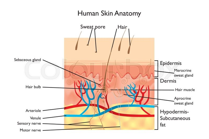 Human skin anatomy detailed illustration with designations in human skin anatomy detailed illustration with designations in english stock vector colourbox ccuart
