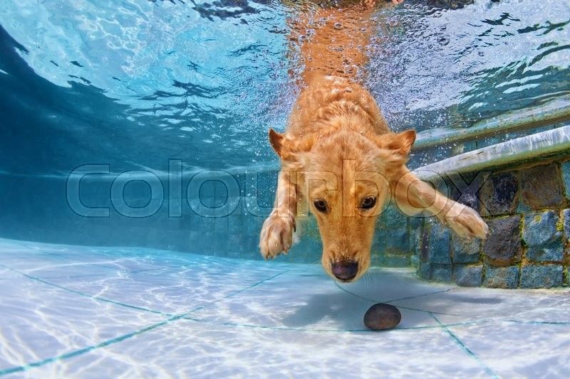 Playful golden retriever puppy in swimming pool has fun - jumping and diving deep down underwater to retrieve stone. Training and active games with family pets and popular dog breeds on summer holiday, stock photo