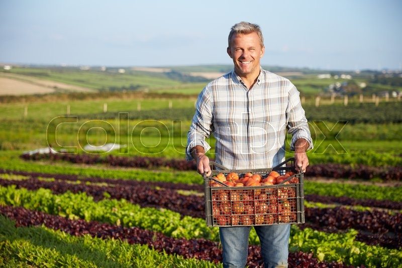 Farmer With Organic Tomato Crop On Farm, stock photo