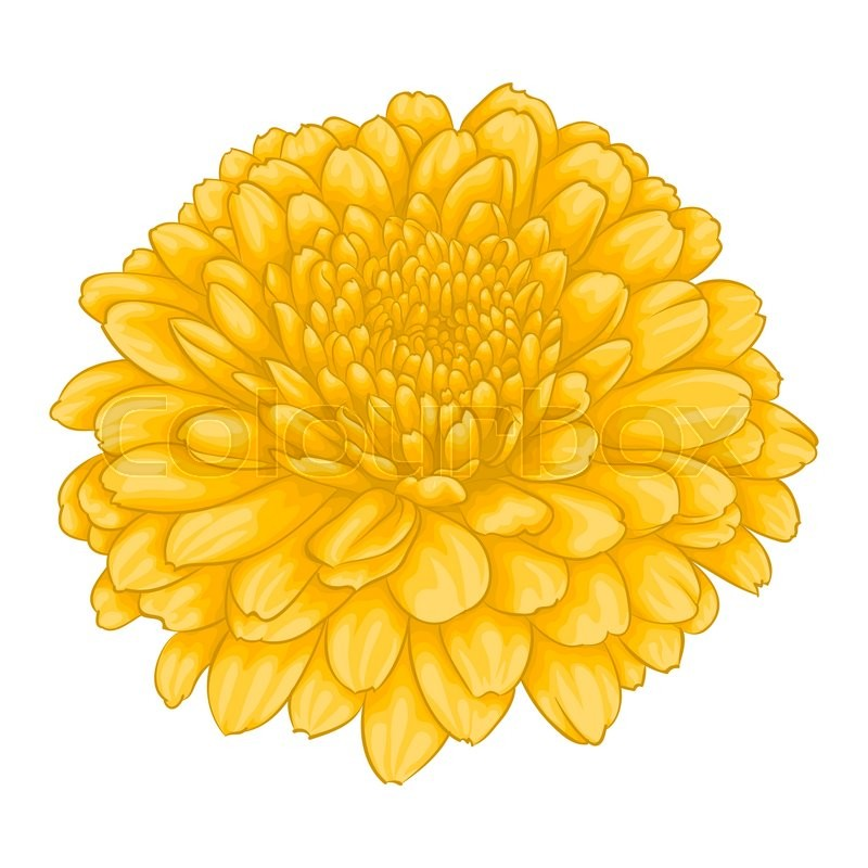 Beautiful yellow chrysanthemum flower effect watercolor isolated on beautiful yellow chrysanthemum flower effect watercolor isolated on white background for greeting card and invitation of the wedding birthday mightylinksfo