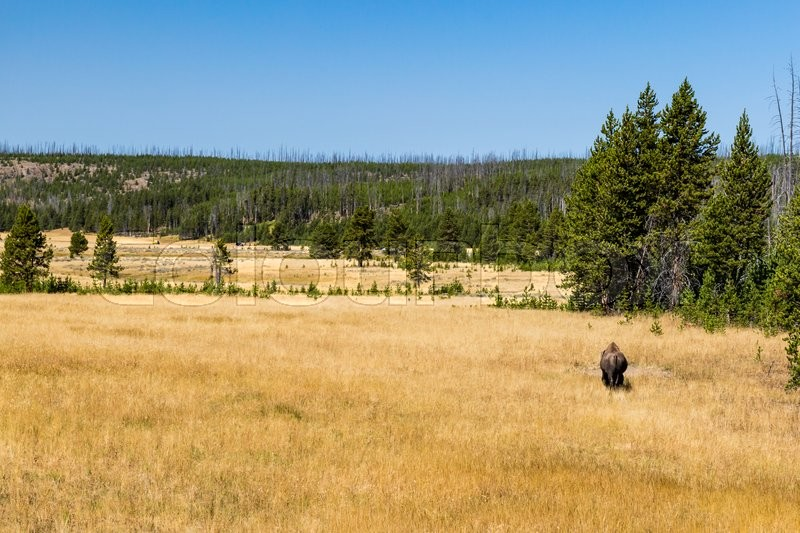 Bison in Yellowstone National Park, stock photo