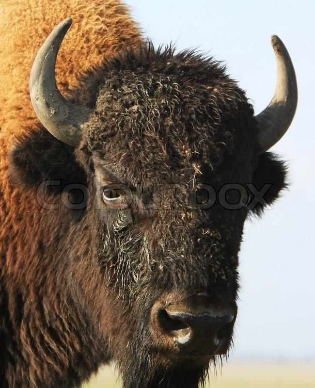 close up buffalo askania nova ukraine stock photo. Black Bedroom Furniture Sets. Home Design Ideas