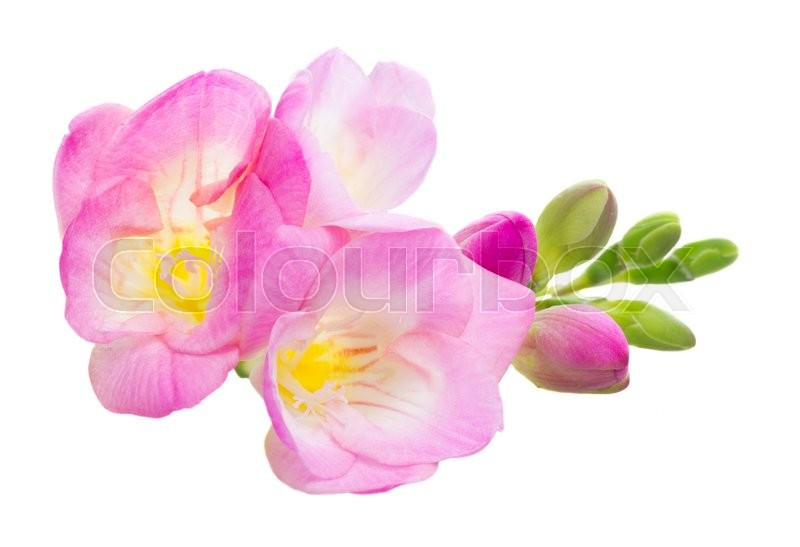 Fresh pink freesia flowers isolated on white background stock fresh pink freesia flowers isolated on white background stock photo colourbox mightylinksfo