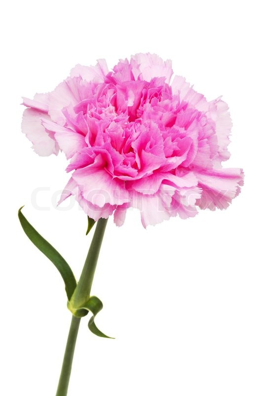 Beautiful pink flower on a white background stock photo colourbox mightylinksfo