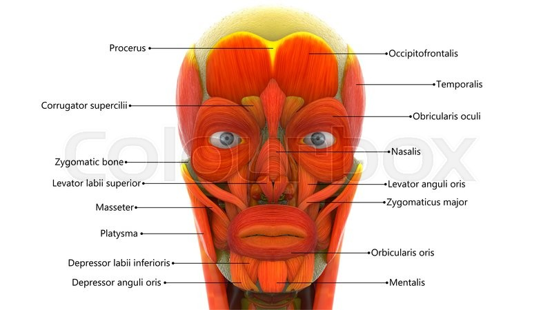 3D Illustration of Human Face Muscles | Stock Photo | Colourbox