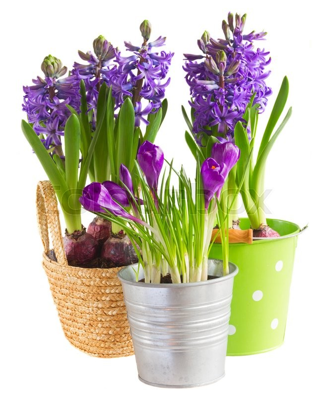 Stock foto af 'isolated, isoleret, hyacinth'