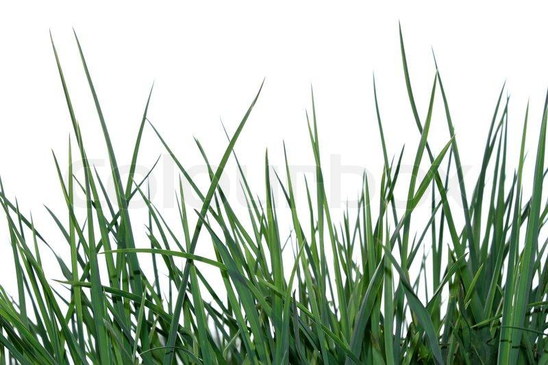 Junge gr ne gras auf den wei en hintergrund stockfoto colourbox - Garten ohne gras ...