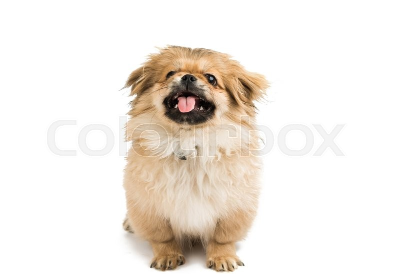 Stock foto af 'pekingeser, peking, pet'