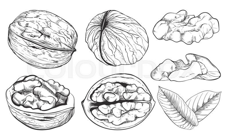 Walnut on white background. walnut seeds. Engraved vector ...