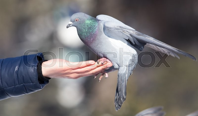 Pigeon on the hand on nature, stock photo