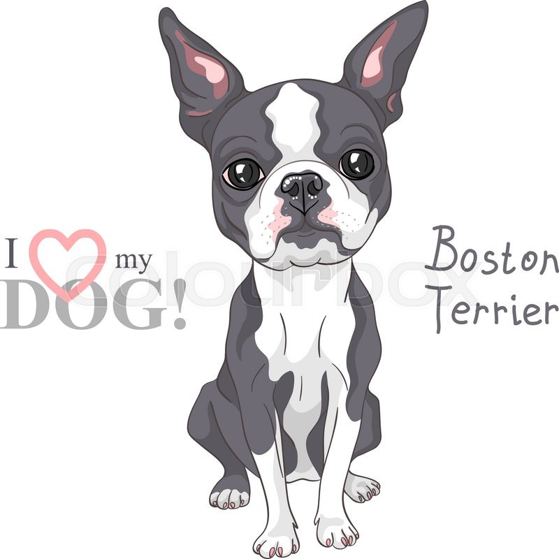 Vector Serious dog Boston Terrier breed sitting | Stock Vector ...