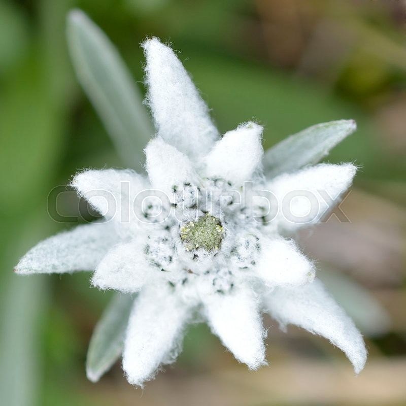 Edelweiss In Nature. Rare Alpine ...