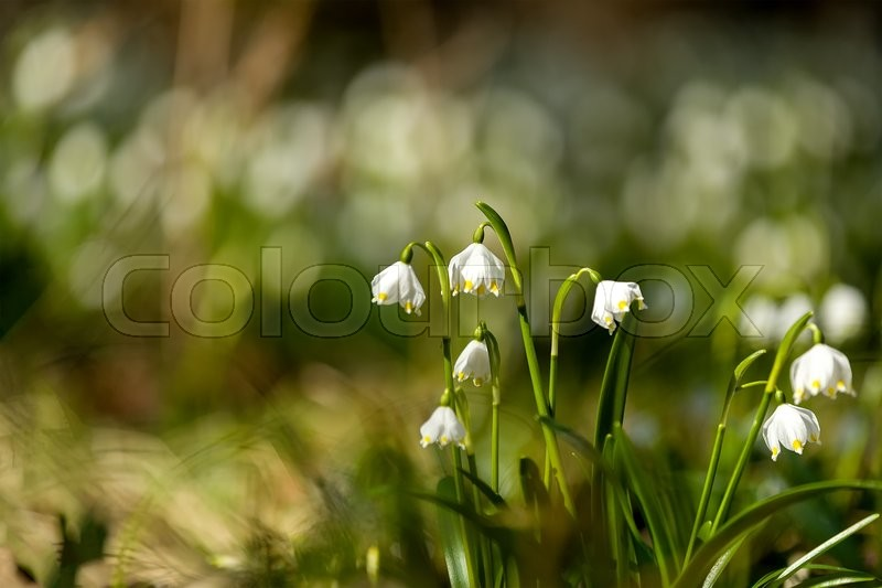 Early spring snowflake flowers in march leucojum vernum group in a early spring snowflake flowers in march leucojum vernum group in a spring forest stock photo colourbox mightylinksfo