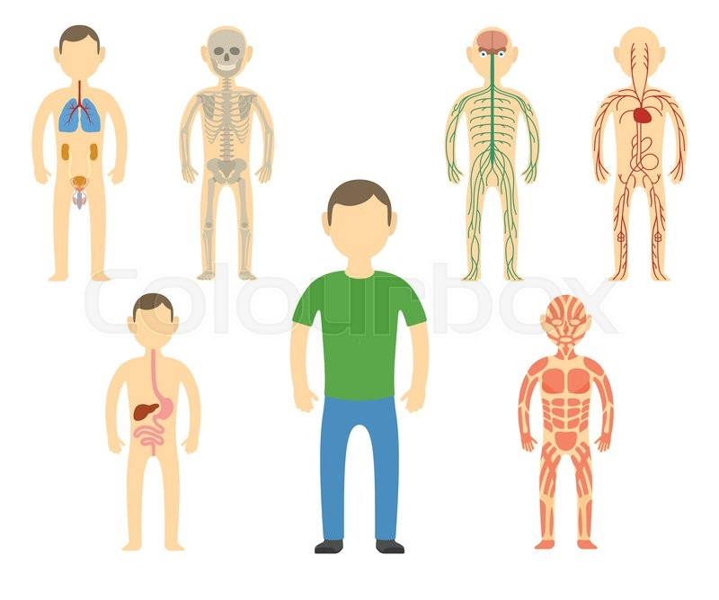 Cartoon Man Body Anatomy All Body Systems Urogenital Respiratory