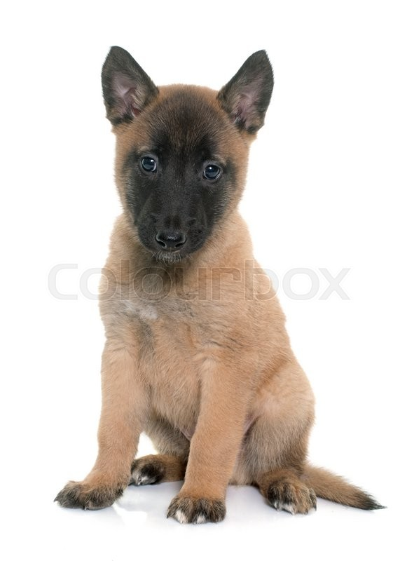 Belgian Shepherd Dog Malinois In Front Of A White Background | Dog ...