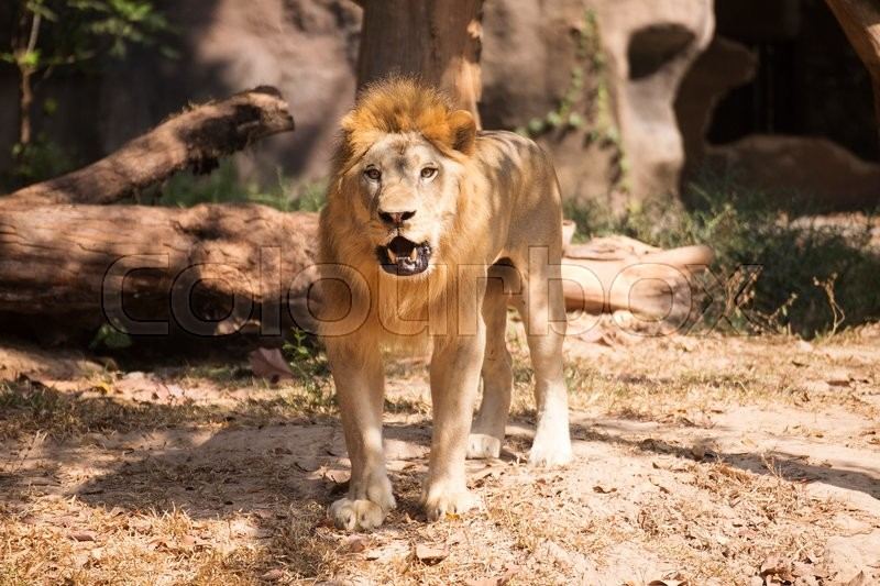 male lion walking and looking on the floor stock photo colourbox