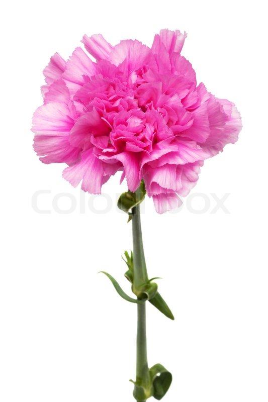 Schöne rosa Blume auf einem weißen Hintergrund | Stockfoto | Colourbox