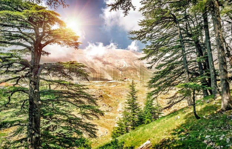 Cedars of Lebanon, beautiful ancient cedar tree forest in the mountains, amazing Lebanese nature, peaceful landscape of a National Park Reserve, Bsharre village, North of Lebanon , stock photo