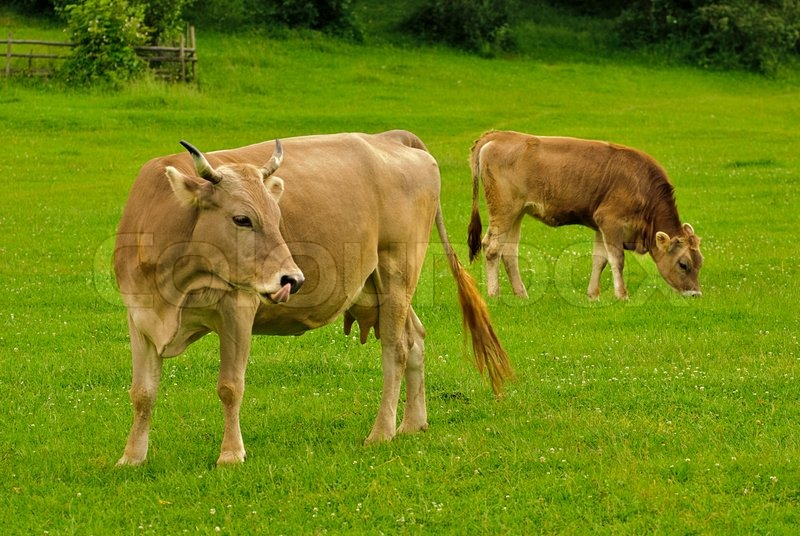 front cow lick