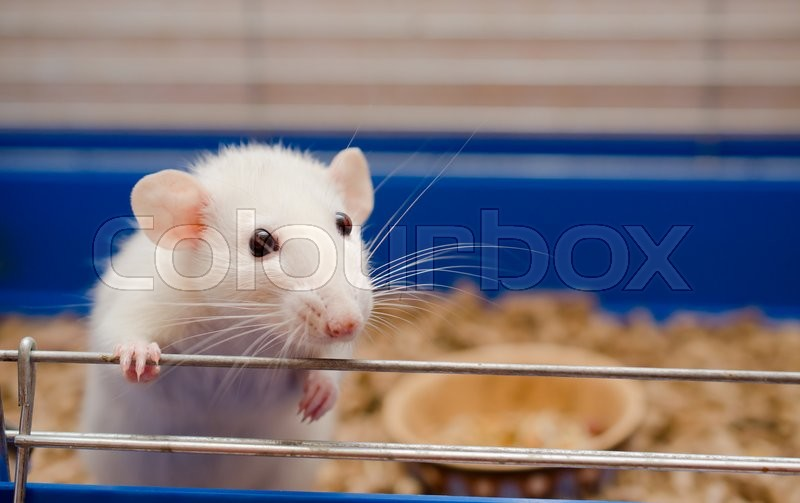 Funny white rat in a cage (selective focus on the rat eyes), stock photo