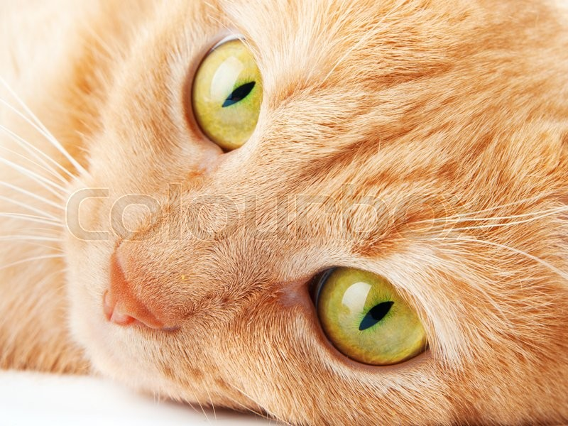 Redhaired cat isolated on white background, looking aside, stock photo