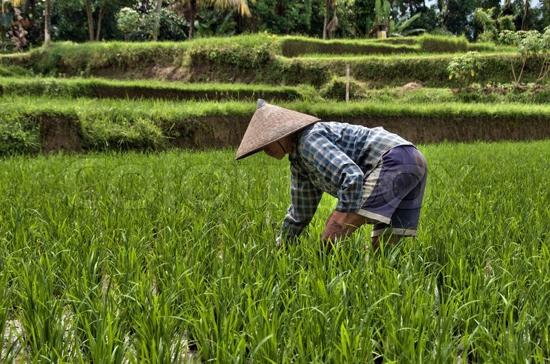 Asian rice farmer picture-9291
