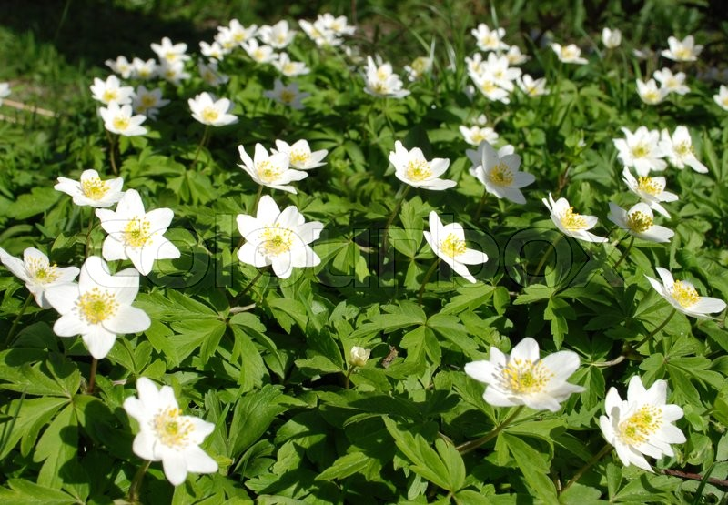 Anemone nemorosa is an early spring flowering plant in the genus anemone nemorosa is an early spring flowering plant in the genus anemone in the family ranunculaceae native to europe common names include wood anemone mightylinksfo