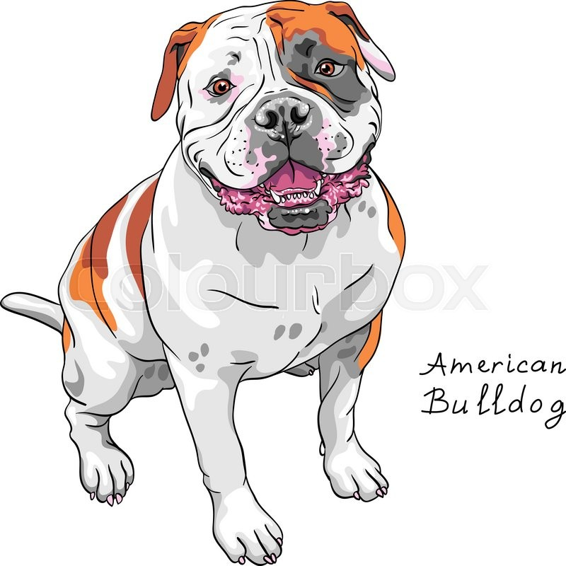COLOR sketch of the dog American Bulldog breed   Stock Vector ...