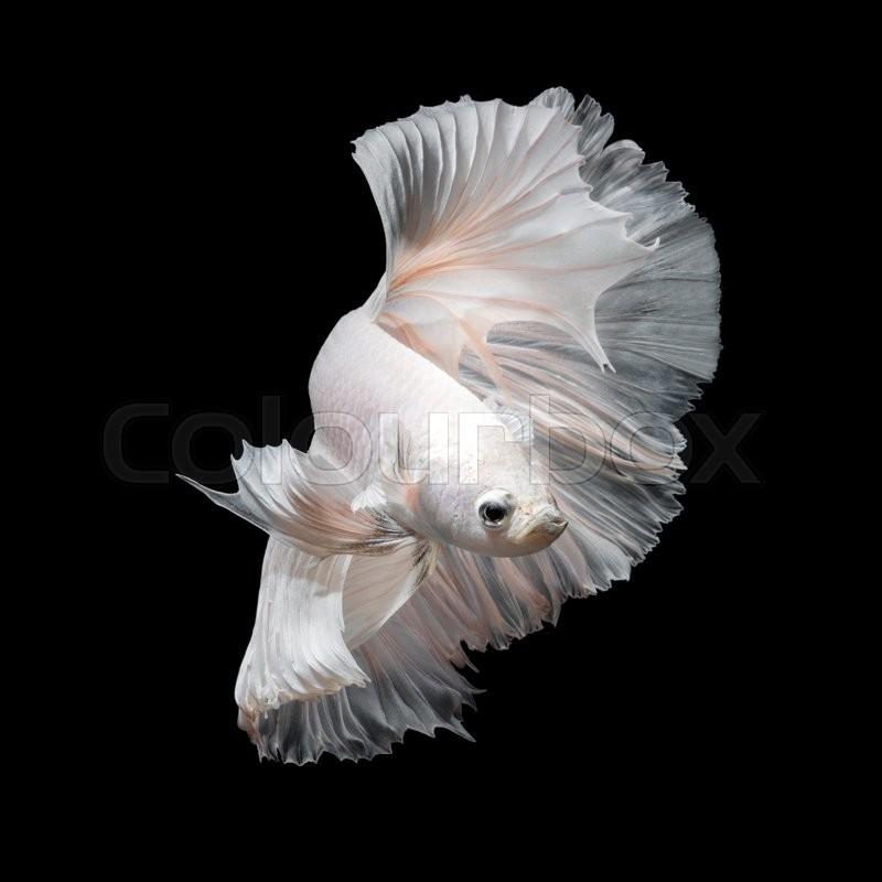 Betta fish siamese fighting fish in movement isolated on for Black betta fish