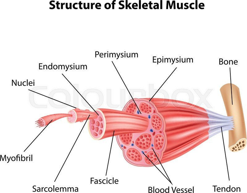 Vector Illustration Of Structure Skeletal Muscle Anatomy Stock